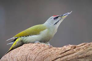 Male Grey-Headed Woodpecker by DominikaAniola