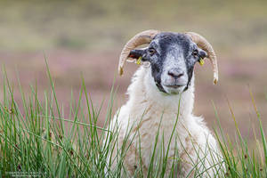 Sheep Portrait by DominikaAniola