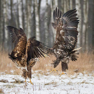 White-Tailed Eagles by DominikaAniola
