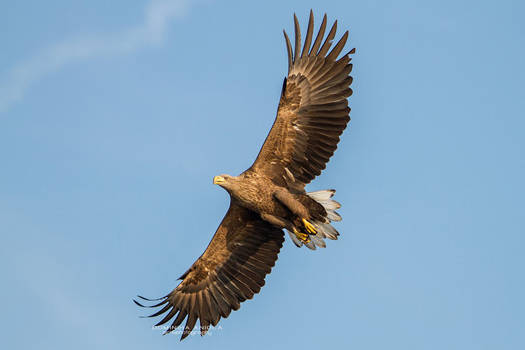White Tailed Eagle From Below