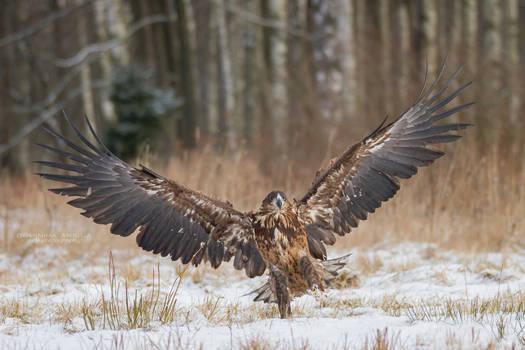 White-Tailed Eagle #1