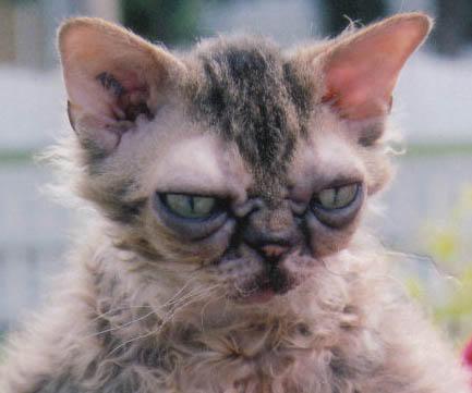 Gandhi. The Mutant Cat. by AmyTheFreak