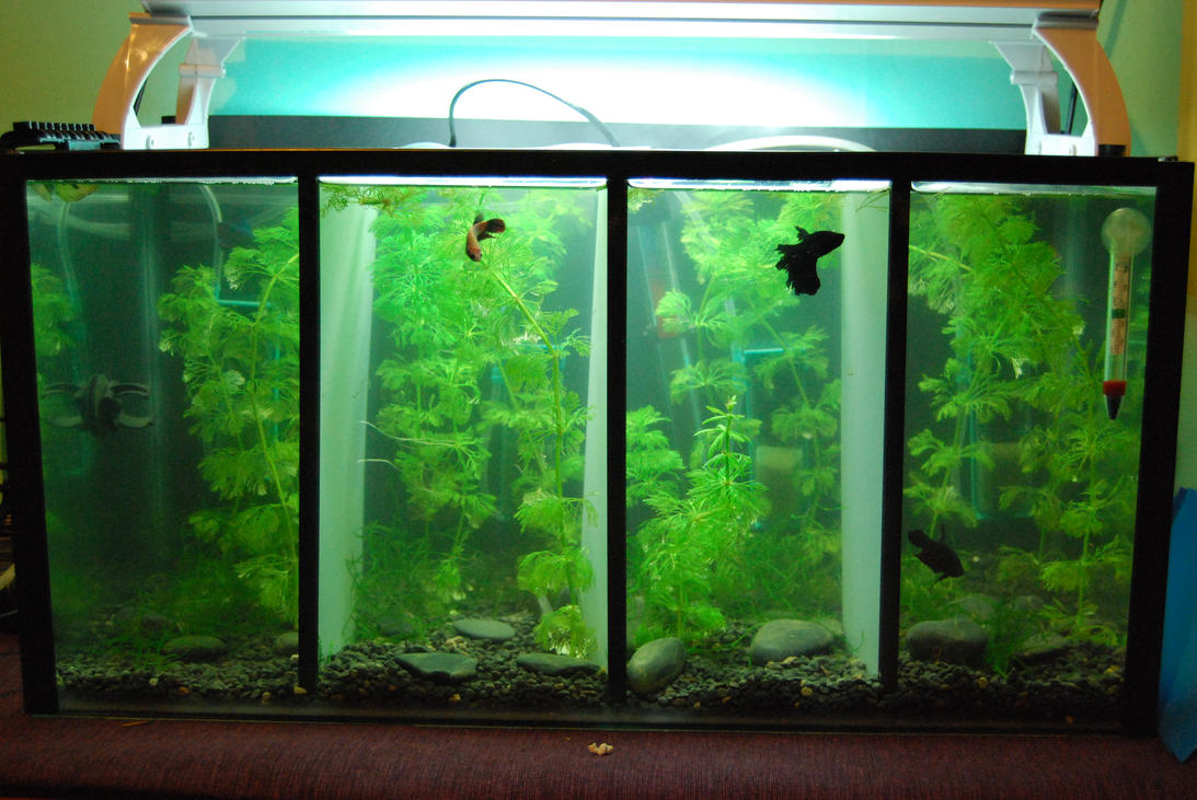 Betta barracks by hymnsie on deviantart for Betta fish tank with filter