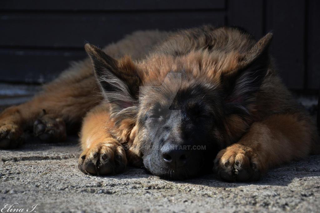 German Shepherd Puppy In Living Room