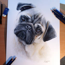 Pug Color Pencil Drawing