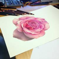Rose study color pencil