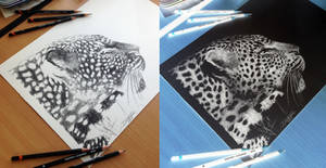 Cheetah inverted pencil drawing