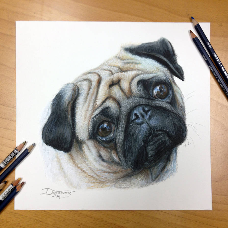 Pug color pencil drawing by atomiccircus