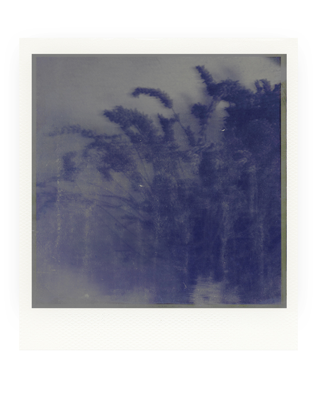 Lavender by iram