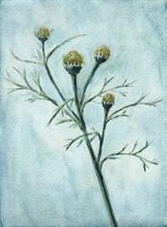 Pineappleweed by tulvit
