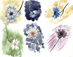 Cornflower sketches by tulvit