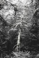 White Tree by SkylerBrown