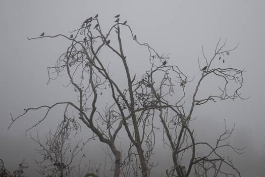 Foggy Birds