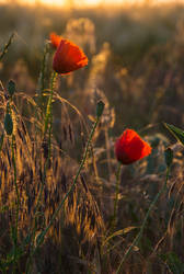 red poppy at sunrise by EdinaBaltas