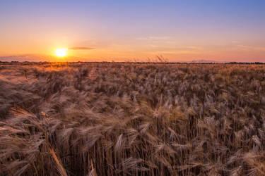 wheat before harvest by EdinaBaltas