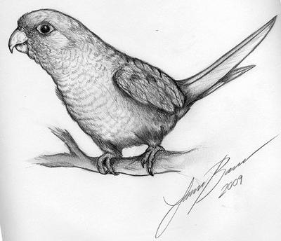 how to draw a pineapple conure