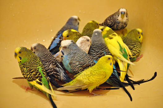 All fourteen of my budgies in the bathtub together