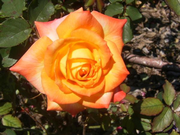 Bright Rose by jennamimi