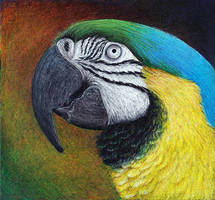 Blue and gold macaw, take 2 by shanskala