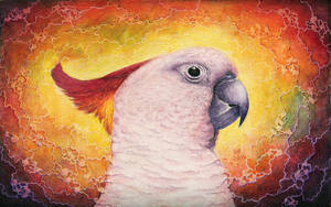 Rainbow Cockatoo