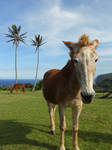 Hawaiian Horse