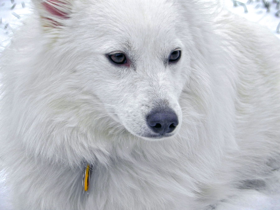 --Snow Dog-- by blazingkitten