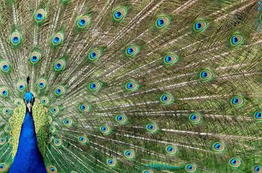 Peacocks by orjatar-321