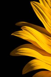 sunflower by orjatar-321