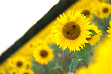 Sunflower face by orjatar-321