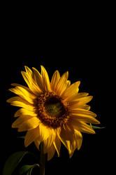 Sunnyflower by orjatar-321