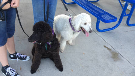 Polar and Holly at our local 'Bark For Life' Event