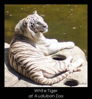 The other White Tiger by ChainBound