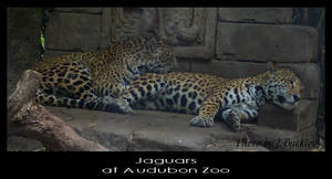Jaguars by ChainBound