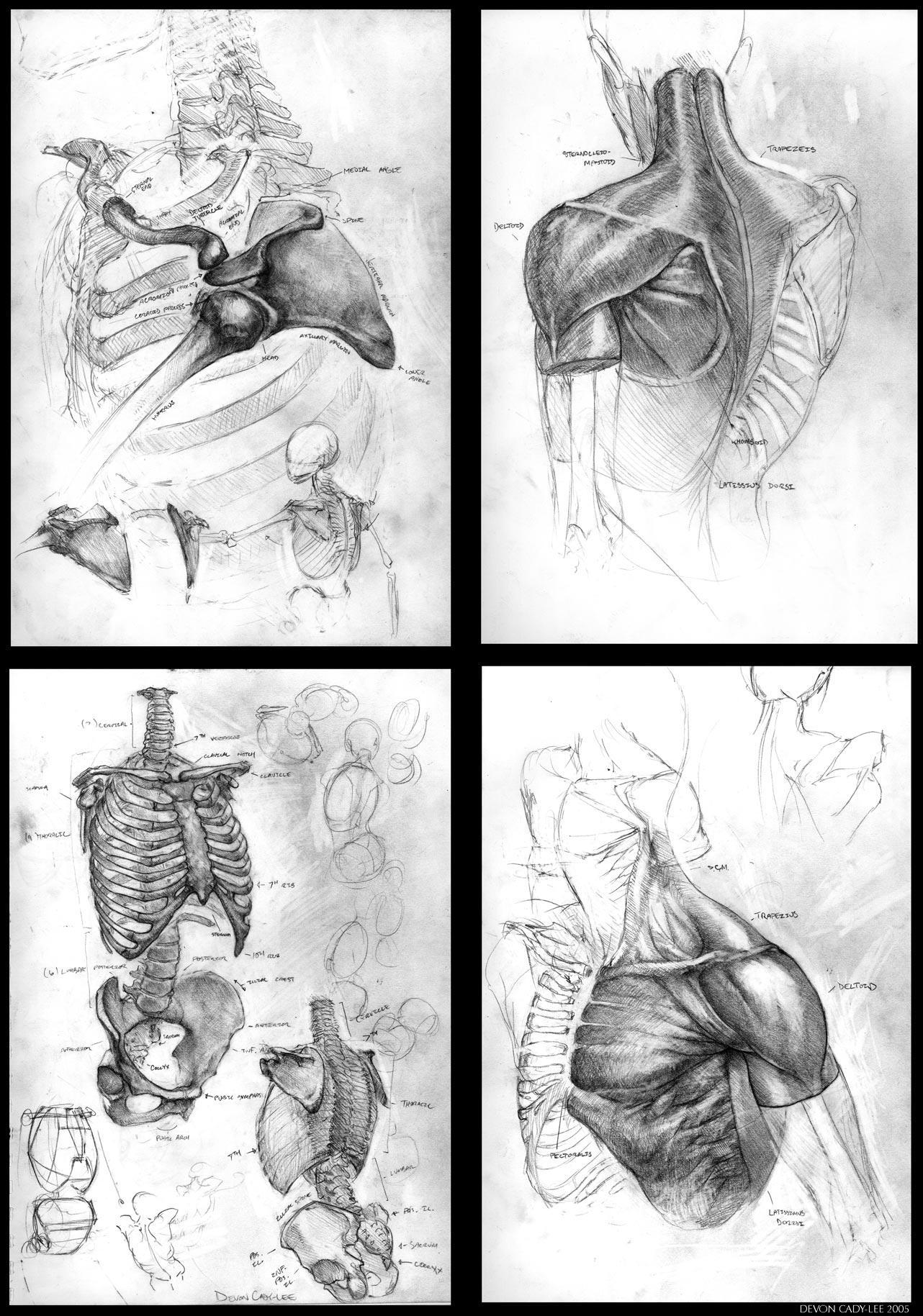 Anatomical Sketch Series I by Gorrem