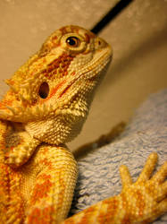 Reptile ref. - Bearded Dragon by chaa