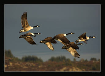 Flying goose