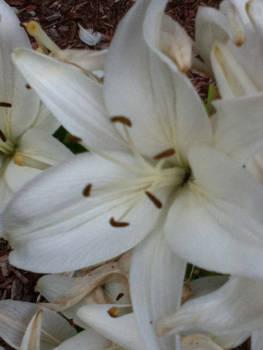 Innoccent flower