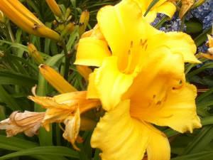 Sunshine's flower