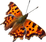 Butterfly 1 PNG