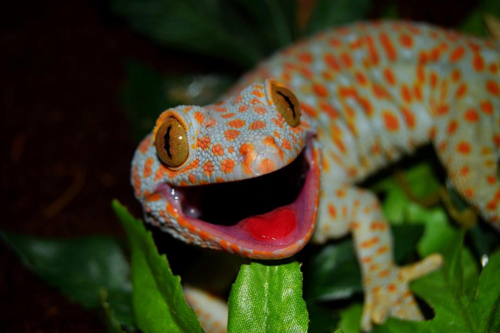 Tokay Tokay by Gecko-Girl