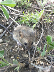 Little Mouse I found While Taking Dogs On Walk