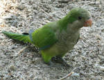 Quaker parrot by flippytiger