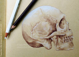 Skull study by Poppysleaf