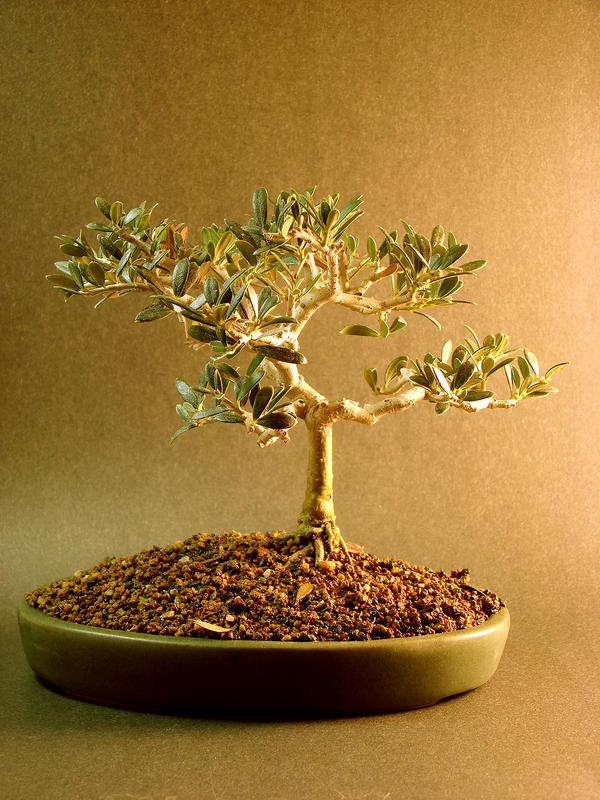 Bonsai Stock by Lostfiniel