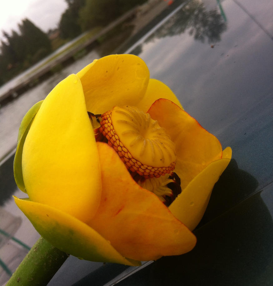 Nuphar Lutea side view by anime16music