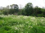 Stock: White Flowers in field