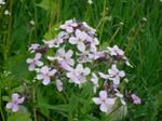 Stock: Purple Flowers