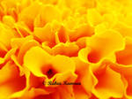 Macro of Chrysanthemum Petals