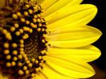 The Heart Of Sunflower