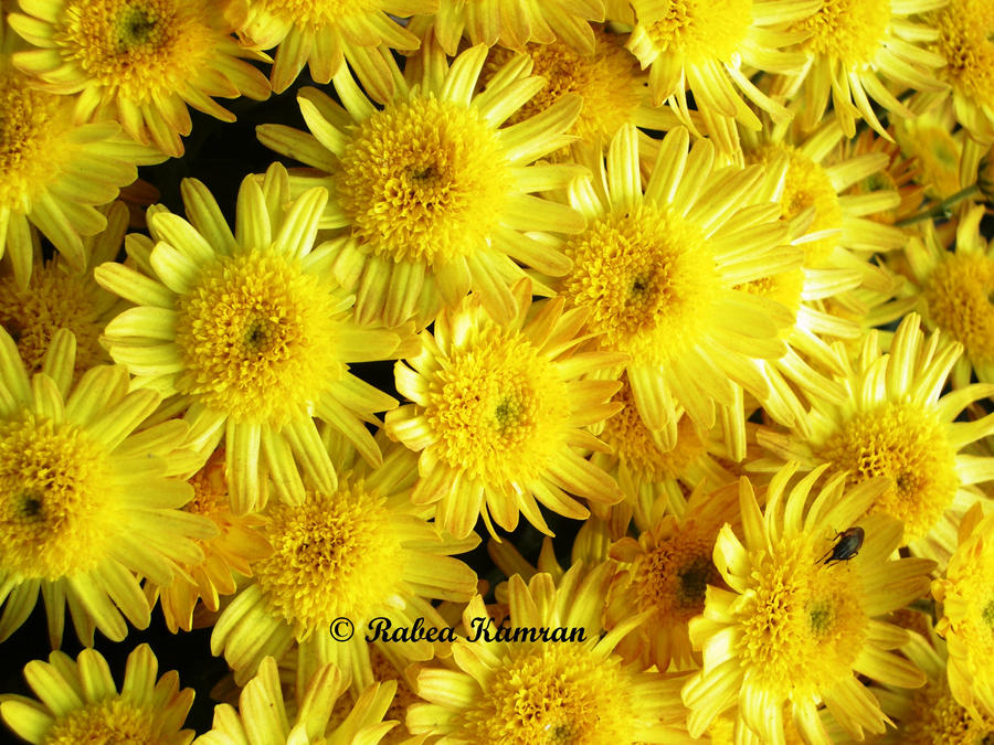 Array Of Yellow Flowers